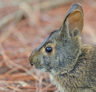 Marsh Rabbit / Saint Andrews Park, Florida - GPS / October 11, 2014