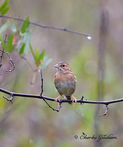 Bachman's Sparrow / Northwest Florida / Pine Log State Forest / October 13, 2014