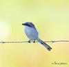 Loggerhead Shrike / Northeast Florida / JAX / October 9, 2014