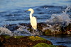 Snowy Egret / Southwest Florida / Casperson Beach State Park / October 9, 2014 / Early morning light
