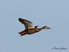 Mottled Duck - GPS