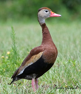Black-bellied Whistling Duck - GPS