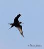 Magnificent Frigatebird - GPS