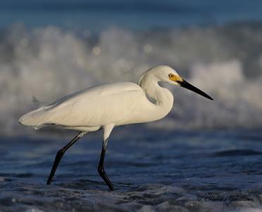 Snowy Egret - GPS