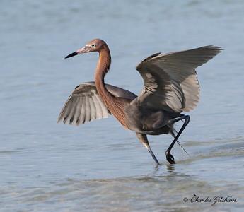 Reddish Egret - GPS