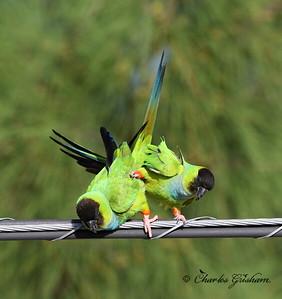 Black-hooded Parakeet (Nanday Parakeet) - GPS