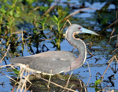 Tri-colored Heron - GPS