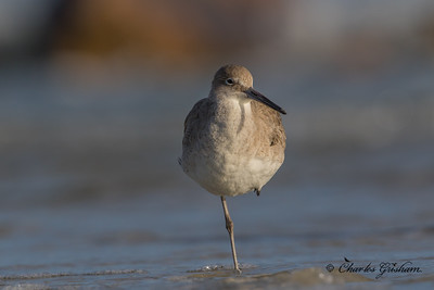 Willet in Florida