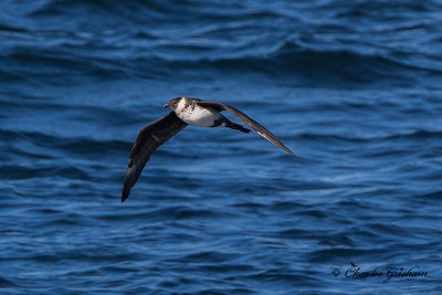 Pomarine Jaeger (light adult) HEAVY CROP