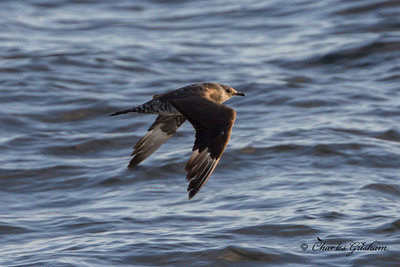 Parasitic Jaeger (light juvenile) HEAVY CROP