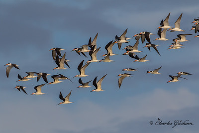 Black Skimmers in Florida