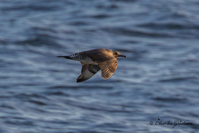 Pomarine Jaeger (light juvenile) HEAVY CROP