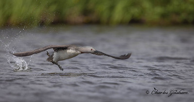 It was amazing to see so many Red-throated Loons within a few miles of Nome. This is one of the many, an almost flight shot lol. Clicked 6/25/21.