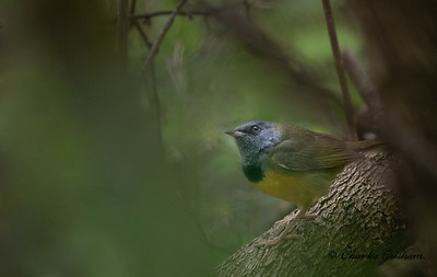 Mourning Warbler.  Not a great shot by any means, but best I've ever been able to get.