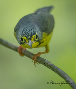 Canada Warbler (male).