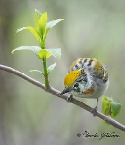 Chestnut-sided Warbler (adult female, breeding plumage).