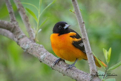 Male, Baltimore Oriole