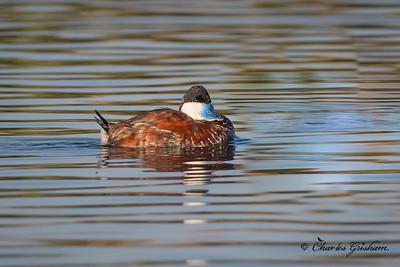 Male Ruddy Duck in breeding plumage.