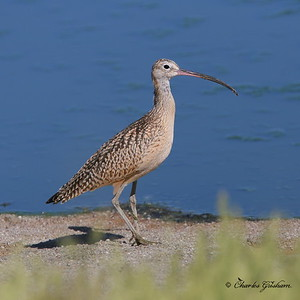 Long-billed Curlew / Southeast Arizona / Willcox Plya / September 1, 2014 / GPS
