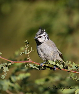 Bridled Titmouse / Harshaw - Patagonia Mountains / August 31, 2014 / GPS