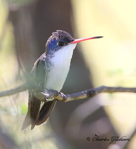 Violet-crowned Hummingbird / Southeast Arizona / Patagonia Preserve / August 30, 2014