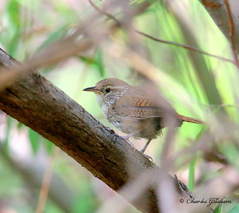 Sinaloa Wren / Southeast Arizona / Huachuca Mountains  / September 5th, 2014