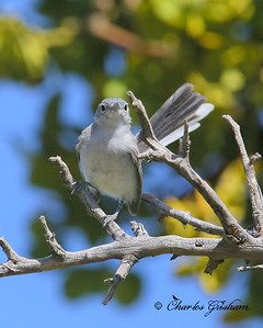 Black-capped Gnatcatcher / Southeast Arizona / Florida Canyon / September 5, 2014 / GPS
