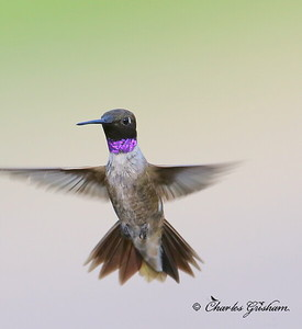 Black-chinned Hummingbird / Southeast Arizona / Patagonia / August 29, 2014 / GPS