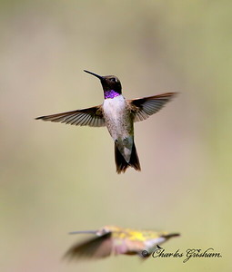 Black-chinned Hummingbird / Southeast Arizona / Madera Canyon / September 5, 2014 / GPS