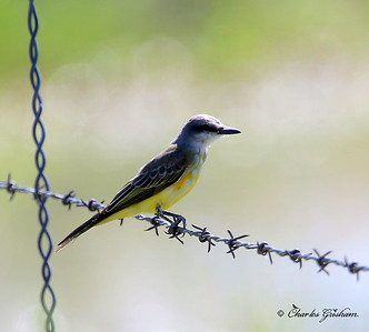 Tropical Kingbird / Southeast Arizona / Willcox Playa (golf course) / September 1, 2014 / GPS