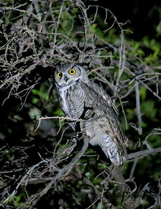 Great-horned Owl (20,000 ISO) / Southeast Arizona / Harshaw / September 1, 2014