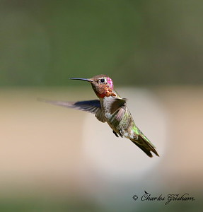 Annas Hummingbird / Southeast Arizona / Madera Canyon / September 5, 2014 / GPS