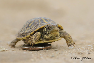 Baby Ornate Box Turtle