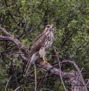 Immature Gray Hawk