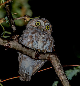 Elf Owl (smallest owl in the world)