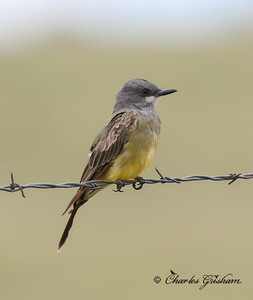 Cassin's or Tropical Kingbird?