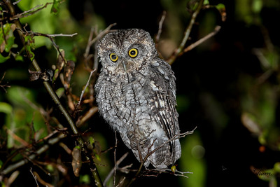 Black-whiskered Screech Owl
