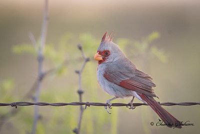 Pyrrhuloxia in Rodeo, New Mexico.