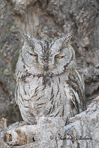 Western Screech Owl at Four Bar Cottages in Portal, AZ.