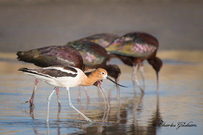 American Avocet & White-faced Ibis.