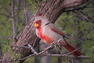 Pyrrhuloxia in Portal, Arizona.