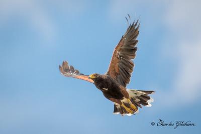 Harris's Hawk - lifer shot