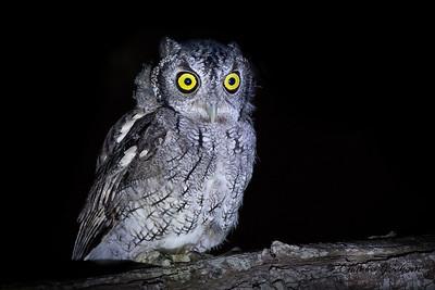 Eastern Screech Owl (Mccallii subspecies) in the Rio Grande region of southeast Texas on 8/31/18.