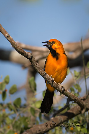 One of my primary target birds for south Texas was the Altamira Oriole. Originally a Mexican bird, it began to populate south Texas about 80 years ago. At 10 inches, its North Americ'a largest oriole.