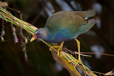Purple Gallinule at the Celery Fields