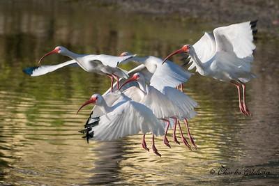 White Ibis mini-flock at Little Gasparilla Island