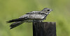 Common Nighthawk, Anahuac NWR (TX), August 2014