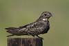 Common Nighthawk, Anahuac NWR (TX), Augusst 2014