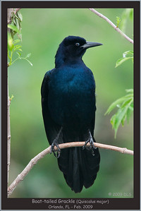 Boat-tailed Grackle