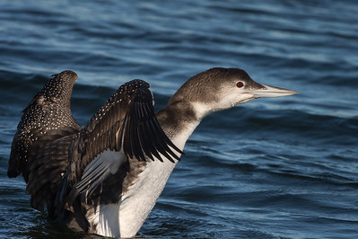 Common Loon, Ft. Pickens FL, Dec. 2015